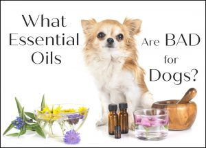 What Essential Oils are bad for Dogs?