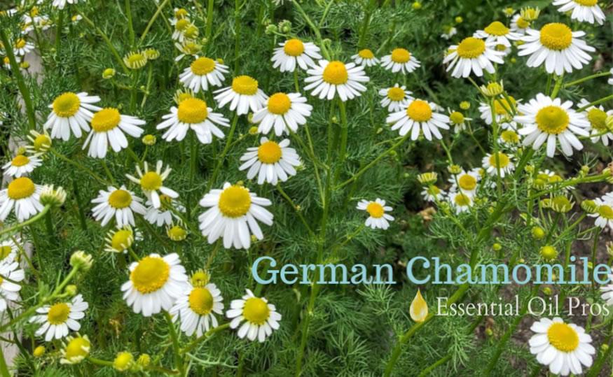 german chamomile
